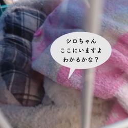 シロちゃん、タオルをかぶる