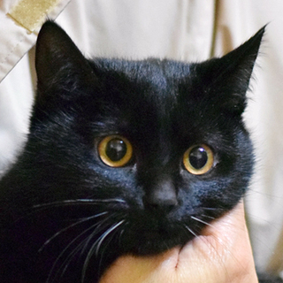 【島根県発】おっとり黒猫男子の飼い主さん募集