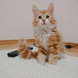メインクーン 子猫 3ヶ月