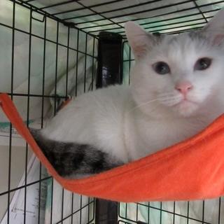 でっかい白猫「武蔵」男の子
