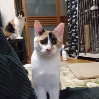 三毛猫レディ  レモンちゃん!