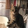 美猫キジトラ女の子ムニちゃん