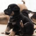 仔犬の「ラーちゃん♂」黒柴系ミックス