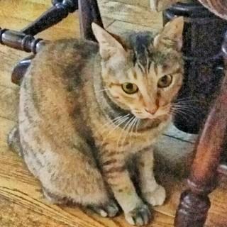 丸い瞳の猫☆【メス】【茶サビ】【多頭飼育崩壊】