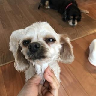 キャバプー 成犬2.3キロ