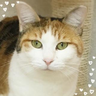 可愛い三毛猫のココちゃん☆2歳位