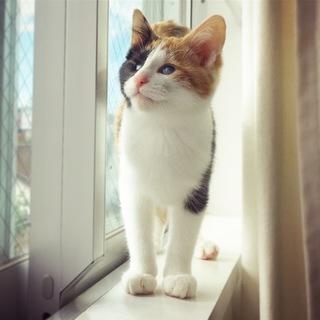 全盲でも普通に生活OK☆がんばってる可愛い三毛幼猫