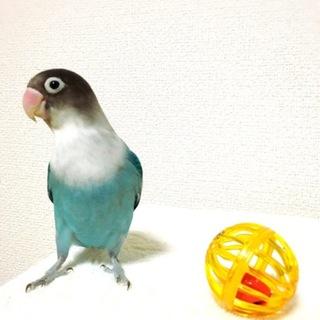 ボタン、コザクラ、文鳥