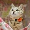【一時停止】キジトラ正統派美猫【ひなの】