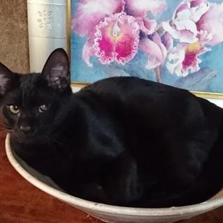 ☆こんなお顔ですが超甘えん坊 黒猫くろちゃん☆
