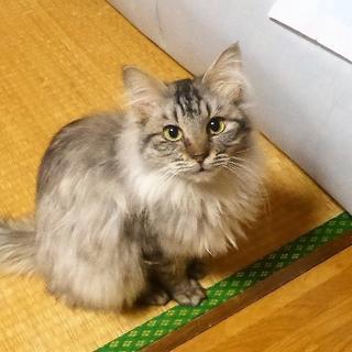 【シャア】メインクーン風MIX・2~3歳・オス