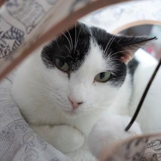【やま子】白黒の美人猫さん