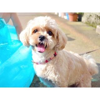 3歳のプードル×ペキニーズのミックス犬