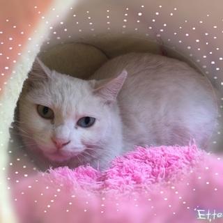オッドアイの白猫とても美猫です♪