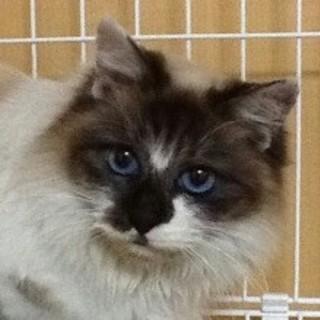 サファイアの瞳 長毛美人猫