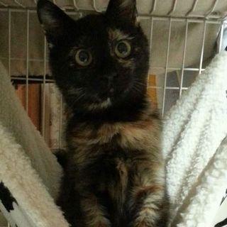 サビ猫ミウちゃん、6ヶ月位