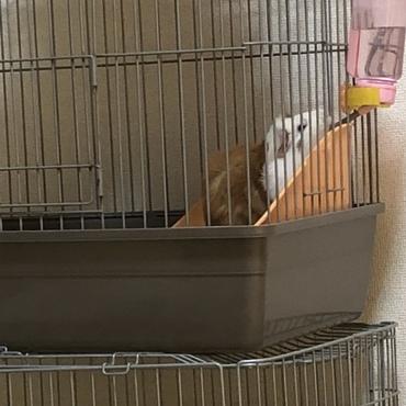 元気にすくすく育ってます。キュウリが大好物で、冷蔵庫を開ける音がすると、欲しいと鳴いてます