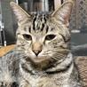 4/29銀座★ルークくん★ザ・キジトラの美猫くん サムネイル2