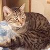 4/29銀座★ルークくん★ザ・キジトラの美猫くん サムネイル3