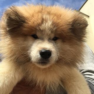 秋田犬の子犬 赤毛のムク 男の子