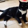【急募】マンチカンの人懐っこい黒猫 去勢済み