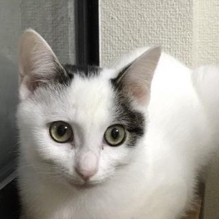 9ヶ月白色白キジ♡小柄の可愛い女の子リアナ