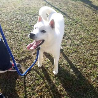 紀州犬mix♂推定8ヵ月のタマ