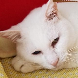 オッドアイの真っ白なメス猫(野良猫から今は家猫)