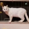 オッドアイの真っ白なメス猫(野良猫から今は家猫) サムネイル2