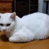 オッドアイの真っ白なメス猫(野良猫から今は家猫) サムネイル3