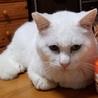 オッドアイの真っ白なメス猫(野良猫から今は家猫) サムネイル4