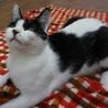 白黒猫界の貴公子♪ 美形ハチ君 サムネイル3