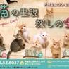 美猫♡キジ三毛キジ白キャンディ♀1歳 サムネイル7