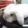 ロップイヤー  子ウサギ