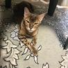 ベンガル猫里親募集 サムネイル2