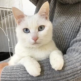 ブルーアイの白猫ちゃん