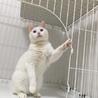 ブルーアイの白猫ちゃん サムネイル3