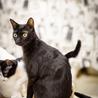 黒豹のような黒猫@多頭向き はやたくん サムネイル2