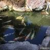 鯉 18匹