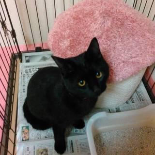黒猫のメス子猫です!甘えん坊クロちゃん