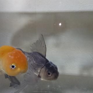 らんちゅうと青文魚