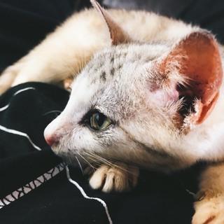 鳴き声の小さいかわいらしい子猫です!