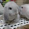 ロップイヤー  子ウサギ(白)