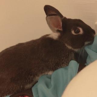 黒 ウサギ ネザーランドドワーフ雑種