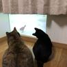 猫のための動画を壁に投影。キトの頭が可愛い。