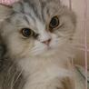 スコF☆さきちゃん☆女の子・立耳・5歳・長毛