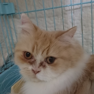 スコF☆はるかちゃん☆女の子・立耳・4歳・中長毛