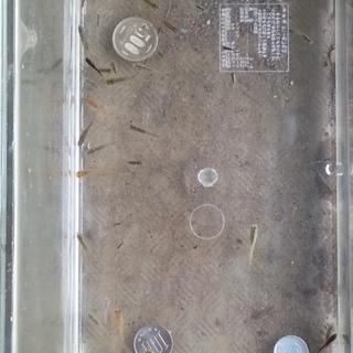一時停止中。昨年孵化したクロメダカの里親を募集。
