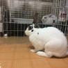 ミニウサギ♀あずきちゃん 1才のおてんば姫 サムネイル3