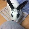 ミニウサギ♀あずきちゃん 1才のおてんば姫 サムネイル6